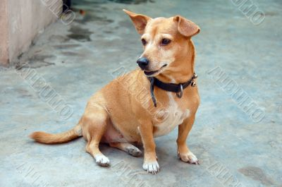 Watchful Pet Dog