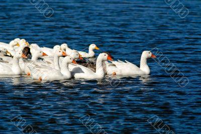 domestic goose