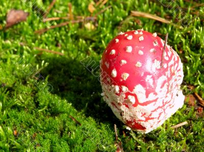 fly agaric into moss