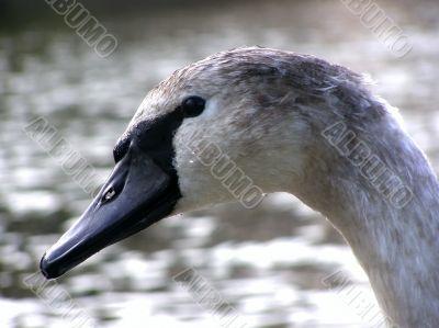 swan nestling portret