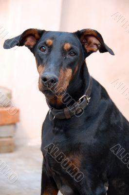 Doberman Dog Closeup
