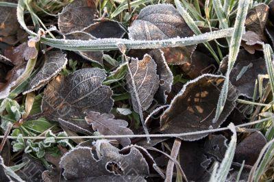 Leaves in Hoar