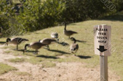 Please Feed Ducks