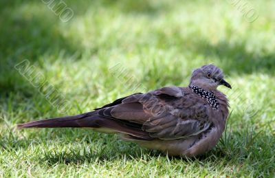 The pigeon in a grass