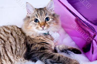 Birthday Christmas kitten with present