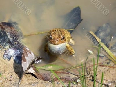 Toad in a Muddy Pond