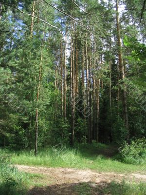 forest woods pine