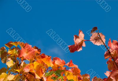 Colorful Wine Leafs