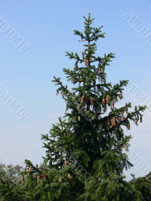 Spruce with cones