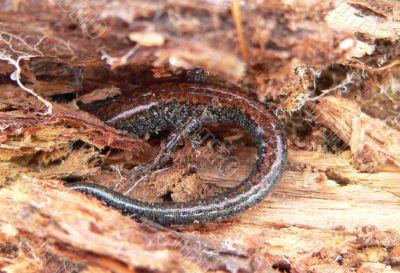 Hiding Salamander