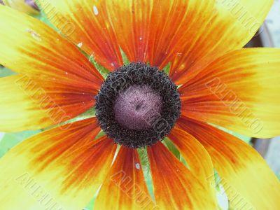 Black-Eyed Flower,center macro