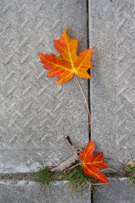 Red Maple leaf at concrete wave 2