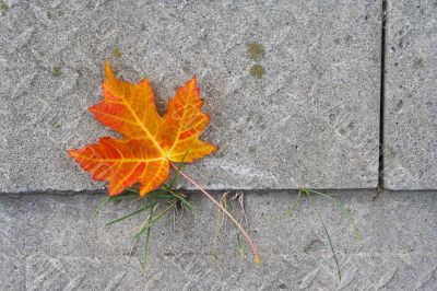 Red Maple leaf at concrete wave 3