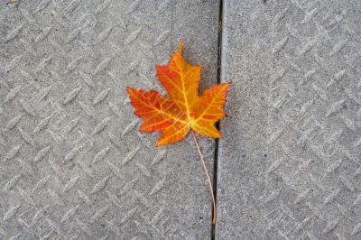 Red Maple leaf at concrete wave 1