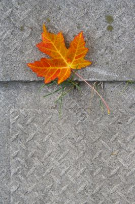 Red Maple leaf at concrete wave 4