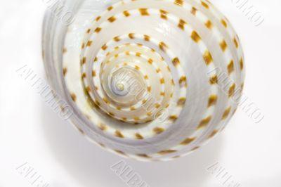 White Seashell Symphony 1