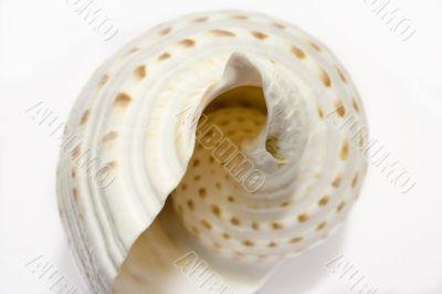 White Seashell Symphony 3