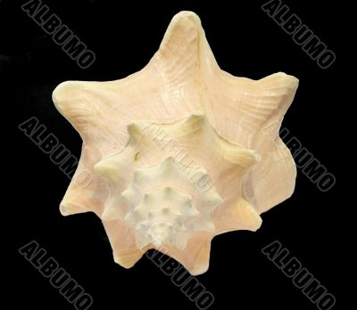 Conch Seashell isolated on black background 4