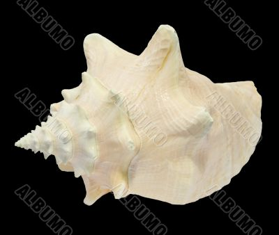 Conch Seashell isolated on black background 3