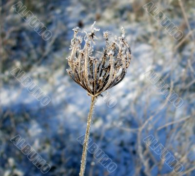 Frozen Queen Anne`s Lace