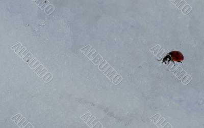 Ladybird in the snow