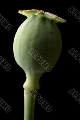 Poppy Seed Vessel