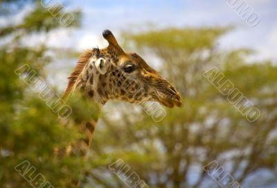 A Giraffe In Africa