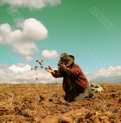 potato harvest in peru