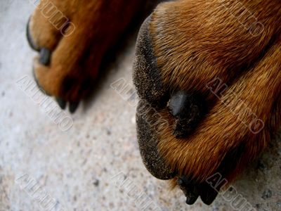 paws of the dog