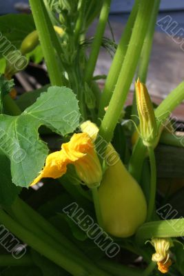 Yellow crook neck squash and blossom