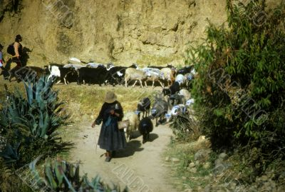 Peruvian Indian women herding sheep