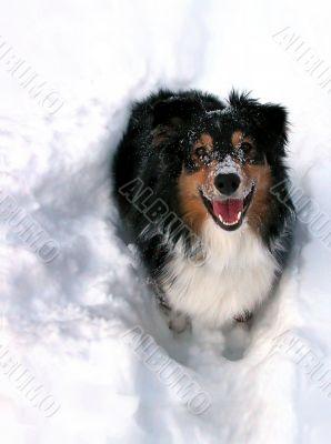 Australian Shepherd Standing in Snow