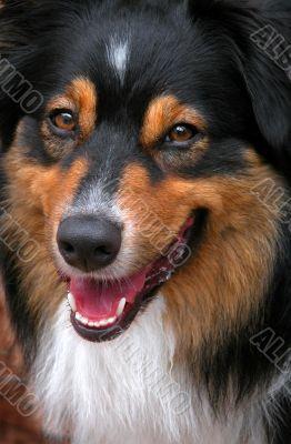 Australian Shepherd (Canis Familiaris)