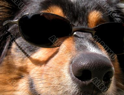 Too Cool (Canis familiaris)