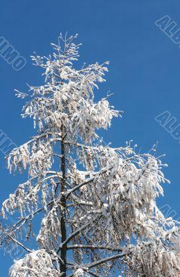 Winter coniferous tree