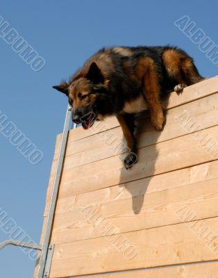 sportive belgian shepherd