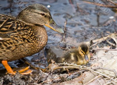 Duck and nestling
