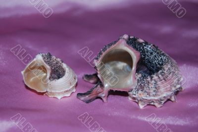 Two shell on the pink background
