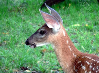 Sotted Fawn
