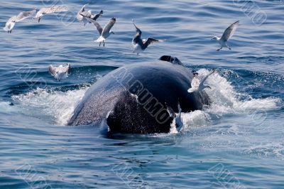Humpback whale diving//Megaptera novae
