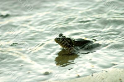 Frog in river