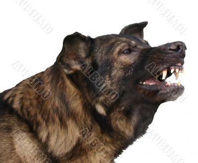 dangerous german shepherd