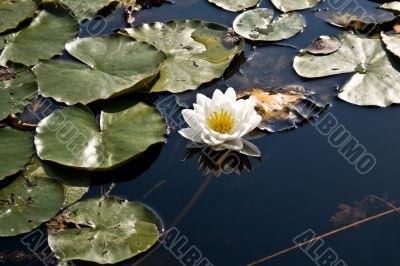 Water lily, White Lotus, Nymphaea alba