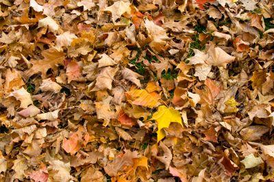 Golden leafs 3