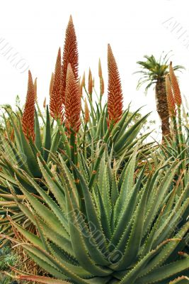 Orange Flowers on Aloe Succulent Plant
