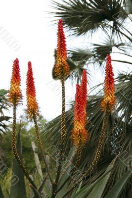 Orange Flowers of Aloe Succulent Plant
