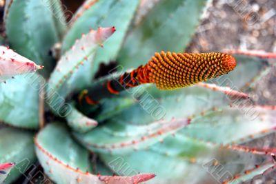 Closeup of Aloe Succulent Plant Flowering