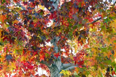 Leaf Fall Season Maple