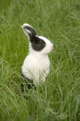 black and white rabbit in green grass
