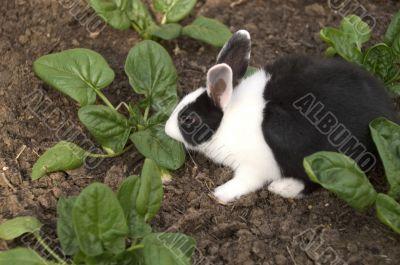 black and white rabbit in the garden